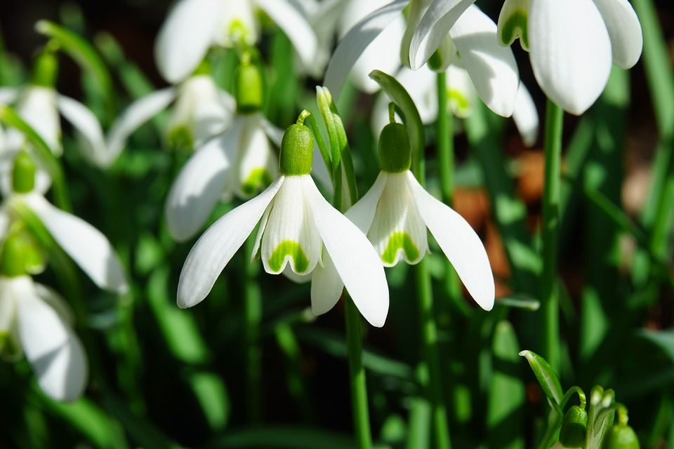 The Simple Snowdrop